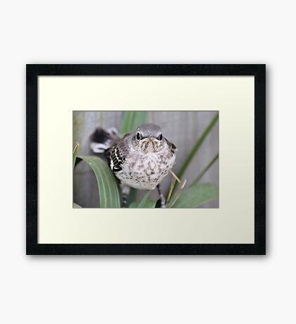 Baby Mocking Bird Framed Print