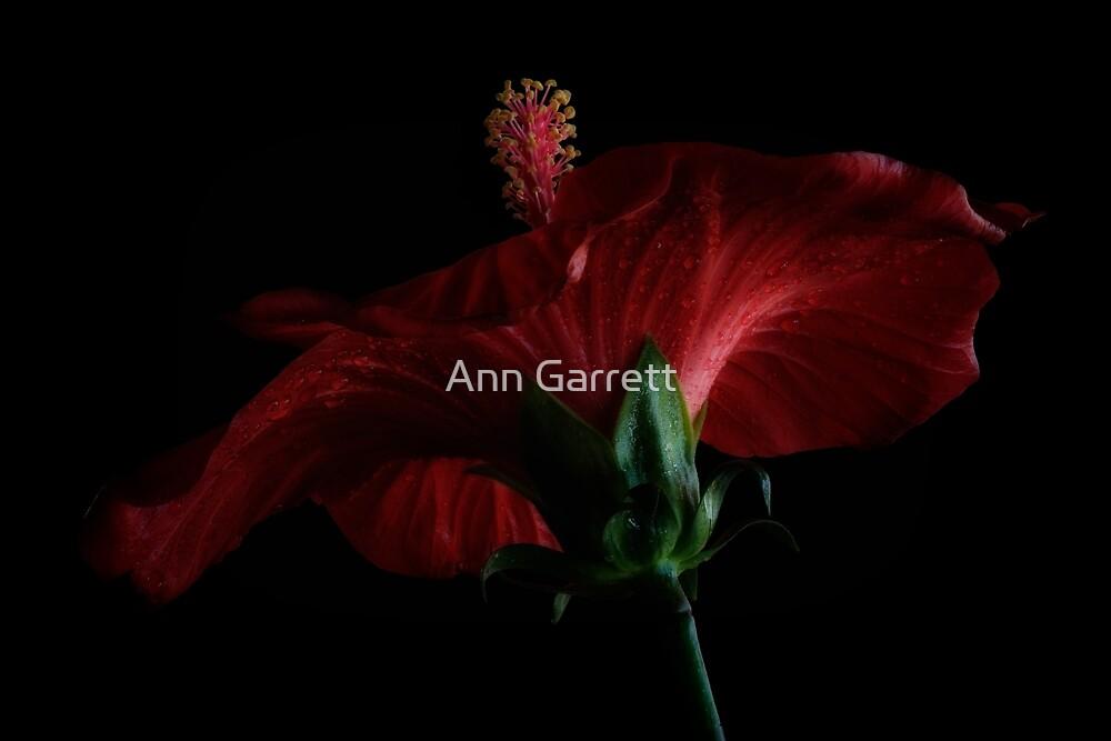Moody Red Hibiscus by Ann Garrett