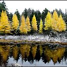 Bakers Dozen Larches by Wayne King