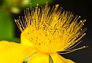 Fluffy Yellow Flower by DonDavisUK