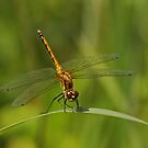 Black Darter by Robert Abraham