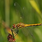 Female Black Darter by Robert Abraham