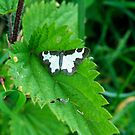 Clouded Border Moth and Friend. by dougie1