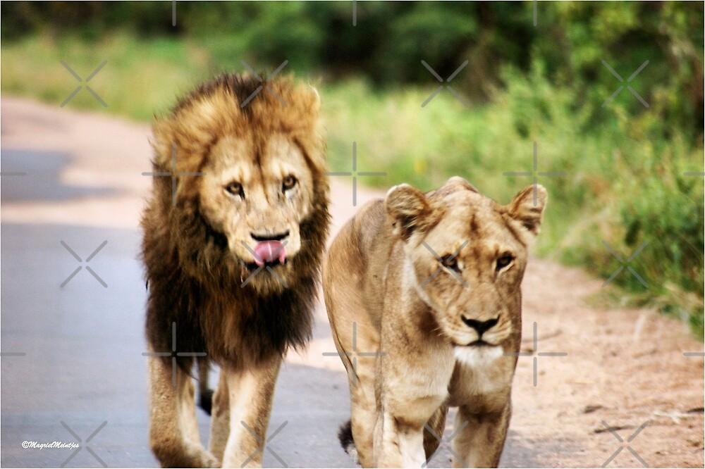 LION - Panthera leo by Magriet Meintjes