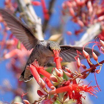 Hummingbird on Ocotillo by Jokus