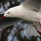 Seagull In Flight by hurky