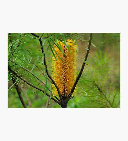 banksia Photographic Print