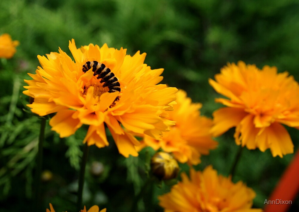 Caterpillar by AnnDixon