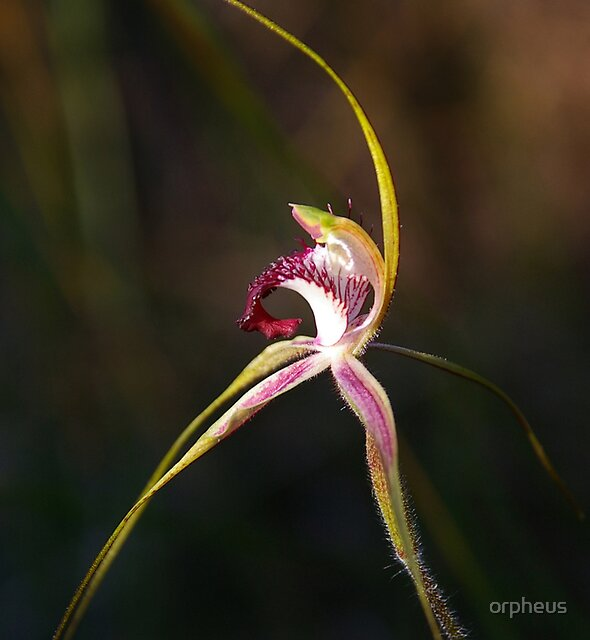 Spider Orchid by orpheus