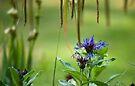 Cornflowers in June by DonDavisUK