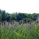 Bullrushes at Magra by dougie1
