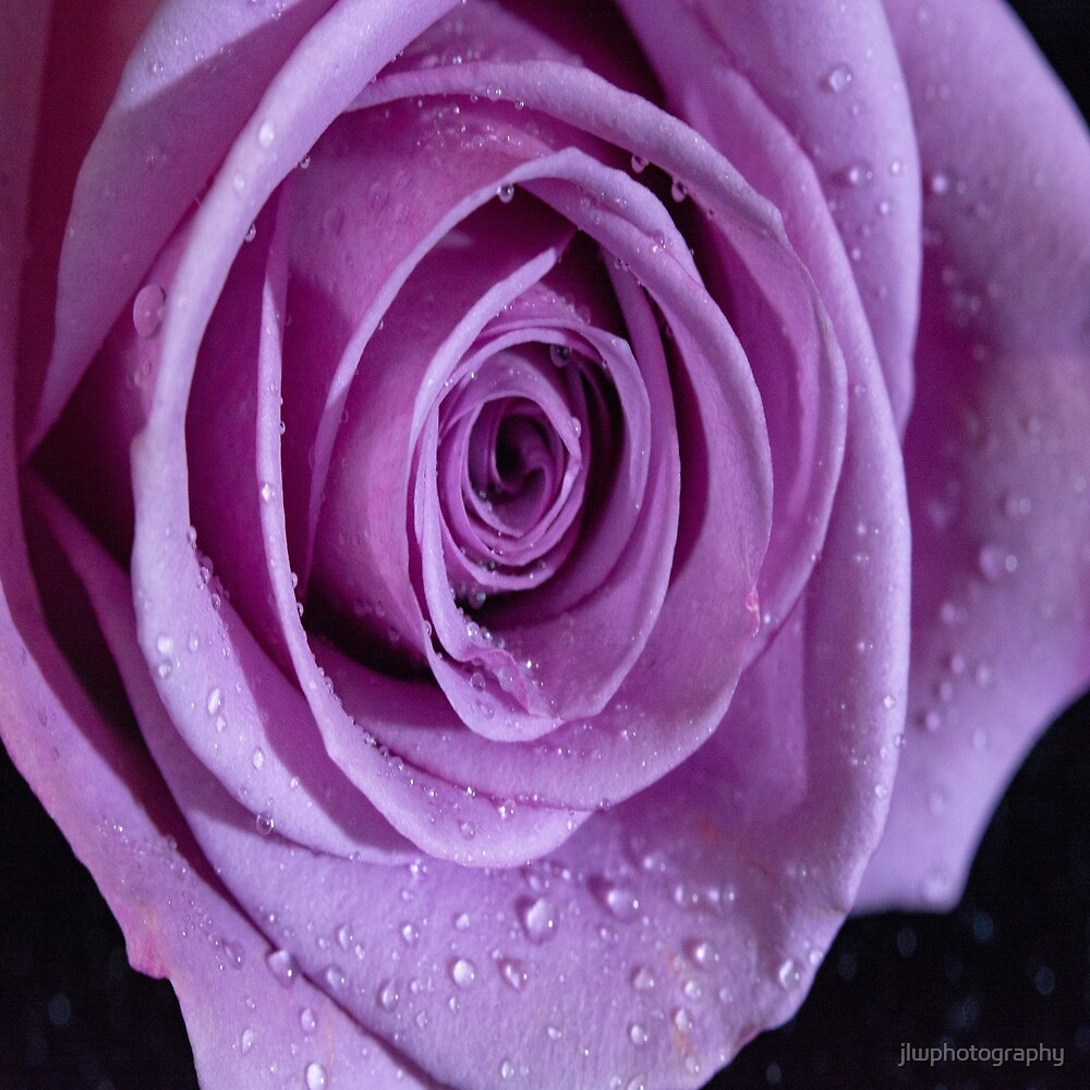 Purple Rose-3 by jlwphotography