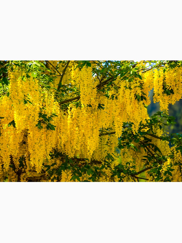 Dangling Yellow Blossoms by Tpeters745