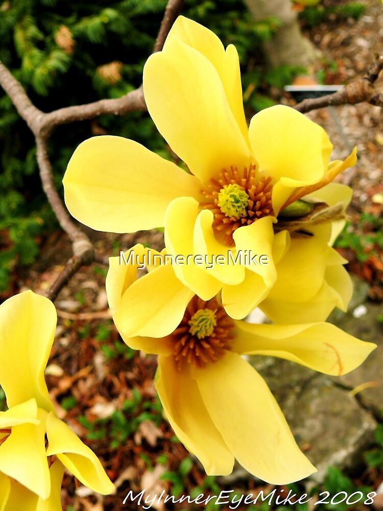#286      Yellow Dogwood Flower #2 by MyInnereyeMike