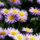Field of Purple Daisies by aussiedi