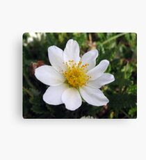 Mountain Avens Canvas Print