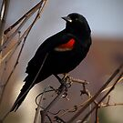 Red Wing Blackbird by Gregory Colvin