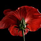Scarlet Hibiscus by Ann Garrett