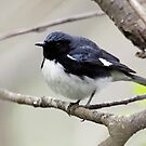 Black Throated Blue Warbler by lloydsjourney