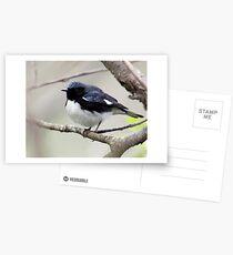Black Throated Blue Warbler Postcards