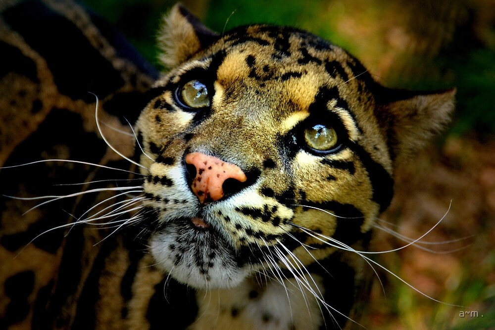 ~Clouded Leopard~ by a~m .