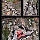 The Sweetheart Underwing Moth by DigitallyStill