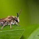 The Plasterer Bee by DigitallyStill