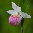 Showy Pink Ladyslipper Orchid by debfaraday