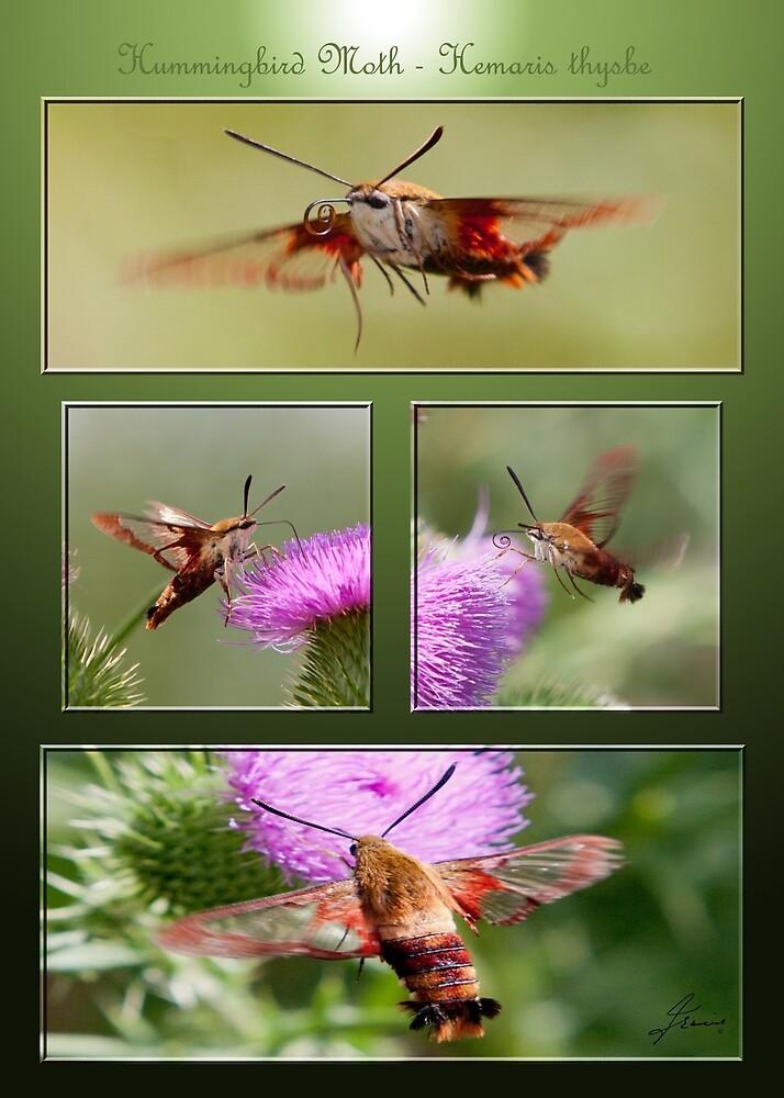The Tango of the Hummingbird Moth by DigitallyStill