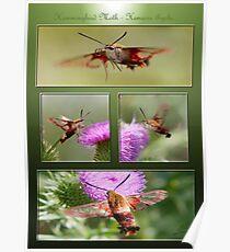 The Tango of the Hummingbird Moth Poster
