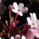 Luculia - pink by Bev Pascoe