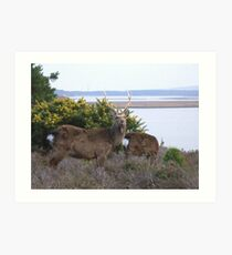 Sika Stags Art Print