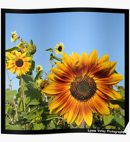 More Sunflowers Poster