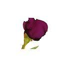Wine Rose by Helen Dannelly