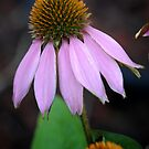 Back Yard Cone Flower by Colleen Drew