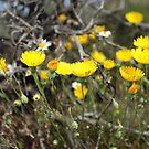 High Desert wild Flowers 2 by SB  Sullivan