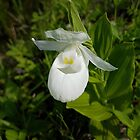 Rare White Showy Lady's Slipper by Vickie Emms