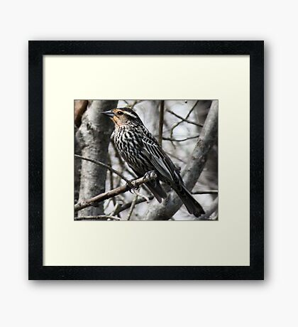Female Yellow Headed Blackbird Framed Print