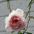 Single Rose Leith Park Victoria 20180430 2677  by Fred Mitchell