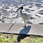 White Ibis by Margaret Stevens