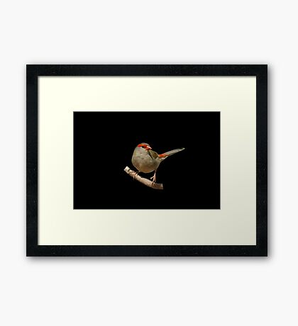 Red-browed Finch 5 Framed Print