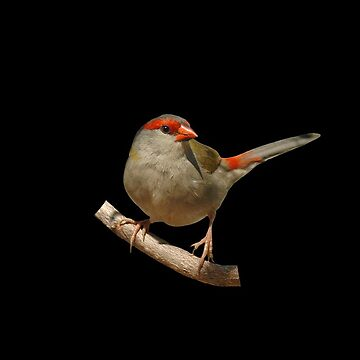 Red-browed Finch 5 by quentinjlang