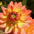 Orange Dahlia. by Steve plowman