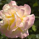 Raindrops on Roses by Steve plowman