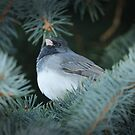 Dark Eyed Junco in the Evergreen Tree by Alyce Taylor