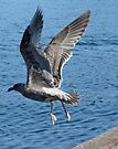 seagull leaving the dock by tego53