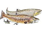 Couple of Atlantic salmon and tacon by rainetteillus