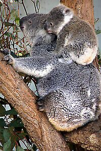 Koala with Baby by Pam Bennun