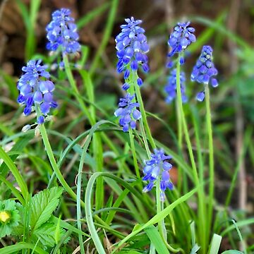 Grape Hyacinth by ephotocard