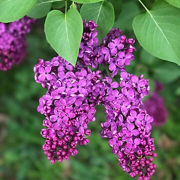 Purple Lilac by ephotocard